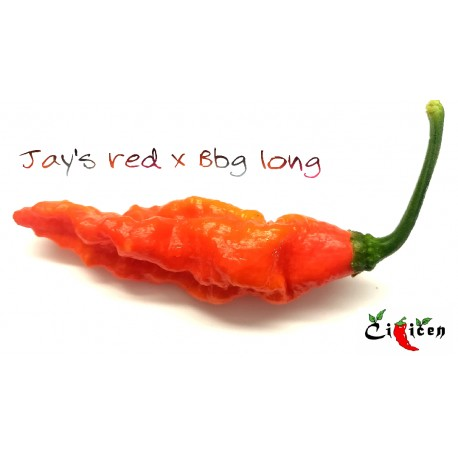 Jay's Red x BBG Long (Capsicum Chinense), 10 semen